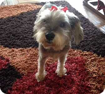 Schnauzer (Miniature) Dog for adoption in Mary Esther, Florida - Luna