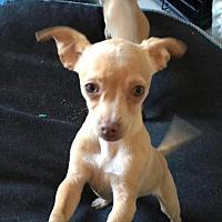Chihuahua Puppy for adoption in Dana Point, California - ANNIE