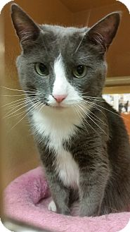 Domestic Shorthair Cat for adoption in North Haven, Connecticut - Cooper