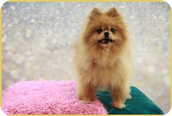 Pomeranian Dog for adoption in Dallas, Texas - Sadie Red