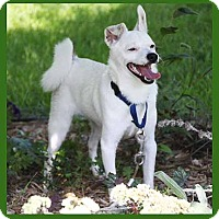 American Eskimo Dog/Chihuahua Mix Dog for adoption in South Bend, Indiana - Manu