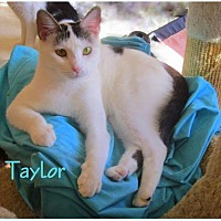 Domestic Shorthair Cat for adoption in Culpeper, Virginia - Taylor