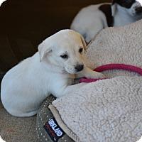 Adopt A Pet :: Cleo - South Dennis, MA