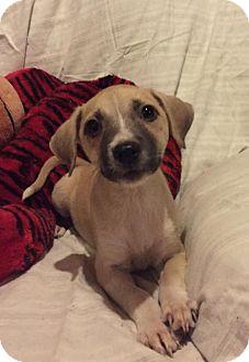 Pit Bull Terrier Mix Puppy for adoption in Hillsboro, Missouri - Sasha