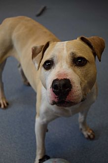 Pit Bull Terrier Mix Dog for adoption in Bay Shore, New York - Lilac