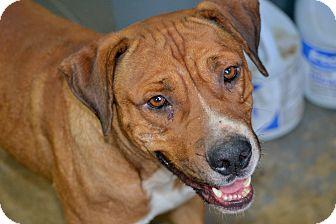 Labrador Retriever Mix Dog for adoption in Hazlehurst, Georgia - Saxon