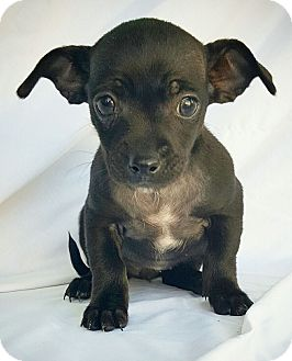 Chihuahua Mix Puppy for adoption in Fredericksburg, Texas - Cadence