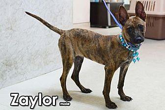 Bernese Mountain Dog/Labrador Retriever Mix Puppy for adoption in Seattle, Washington - Zaylor Tang