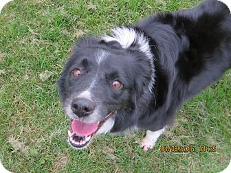 Border Collie Dog for adoption in Nampa, Idaho - COCOA **adoption pending!**