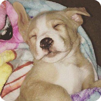 Labrador Retriever Mix Puppy for adoption in waterbury, Connecticut - Jitsu