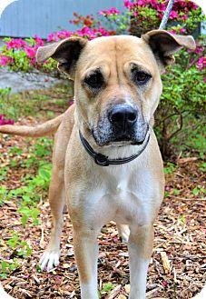 Labrador Retriever Mix Dog for adoption in Michigan City, Indiana - Priscilla