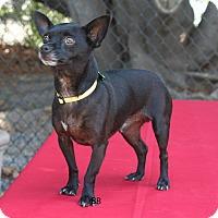 Adopt A Pet :: Nacho - Santa Barbara, CA