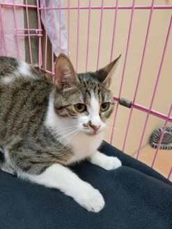 Domestic Shorthair/Domestic Shorthair Mix Cat for adoption in Miami, Florida - Chanel