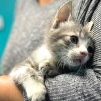 Siamese/Domestic Shorthair Mix Cat for adoption in Waldorf, Maryland - Wonton