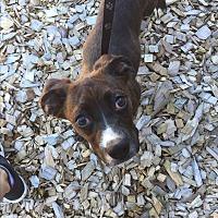 Adopt A Pet :: Ravioli - Seattle, WA