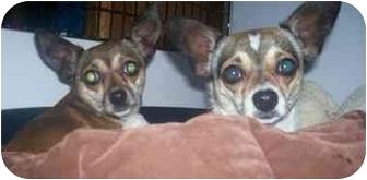 Chihuahua Dog for adoption in Seattle c/o Kingston 98346/ Washington State, Washington - CoCo & Cricket