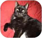 Domestic Shorthair Cat for adoption in Merrifield, Virginia - Hunter