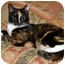 Photo 2 - Calico Cat for adoption in Lutherville, Maryland - Erin