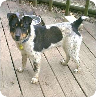 Fox Terrier (Smooth)/Beagle Mix Dog for adoption in cedar grove, Indiana - Alfie