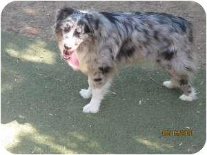 Australian Shepherd Mix Dog for adoption in Overland Park, Kansas - RANGER JACK