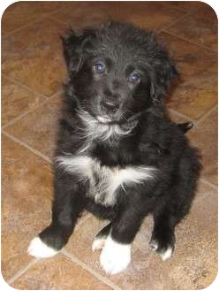 Border Collie Mix Puppy for adoption in Columbus, Nebraska - Buster