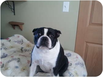 Boston Terrier Dog for adoption in Maple Park, Illinois - Jake