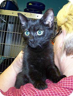 Domestic Shorthair Kitten for adoption in Dover, Ohio - Molly
