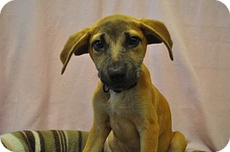 German Shepherd Dog/Labrador Retriever Mix Puppy for adoption in Atlanta, Georgia - Lilac