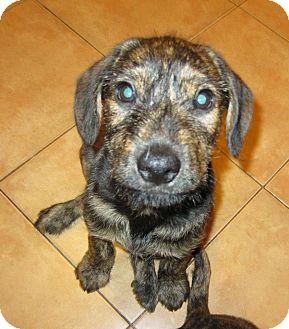 Terrier (Unknown Type, Medium)/Boxer Mix Puppy for adoption in San Diego, California - Valentine