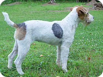 Jack Russell Terrier Dog for adoption in Scottsdale, Arizona - SENECA