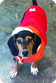 Coonhound (Unknown Type)/Beagle Mix Puppy for adoption in Lancaster, Kentucky - Kiera