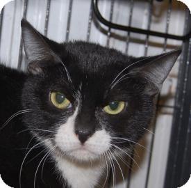 Domestic Shorthair Kitten for adoption in Brooklyn, New York - Thomas