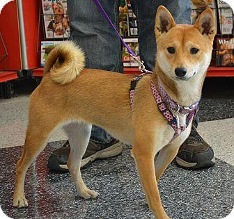 Shiba Inu Dog for adoption in Centennial, Colorado - Shika