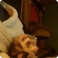 Adopt A Pet :: Allie - VERNON, TX