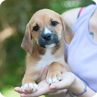 Boxer/Beagle Mix Puppy for adoption in New Martinsville, West Virginia - Lena