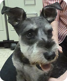 Schnauzer (Miniature) Mix Dog for adoption in Hastings, Nebraska - Buster