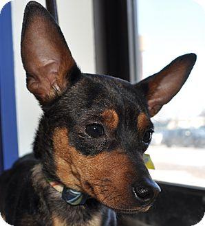 Dachshund/Chihuahua Mix Dog for adoption in Farmington, Minnesota - PACO