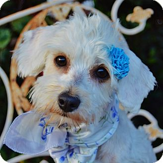 Maltese/Poodle (Miniature) Mix Dog for adoption in Irvine, California - Lacey