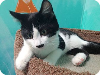 Domestic Shorthair Kitten for adoption in Newport Beach, California - Howie