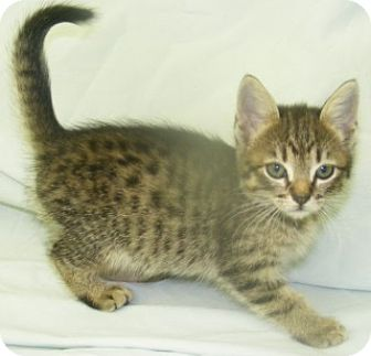 Domestic Shorthair Kitten for adoption in Olive Branch, Mississippi - Annie