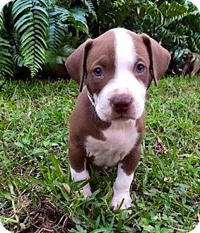 Labrador Retriever Mix Puppy for adoption in Ft. Lauderdale, Florida - Clark