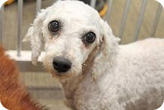 Bichon Frise Dog for adoption in London, Ontario - Jingle
