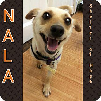 Dachshund Mix Dog for adoption in Valencia, California - Nala
