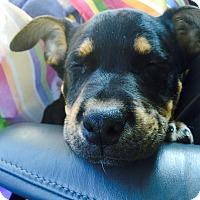 Adopt A Pet :: Flash - Knoxville, TN