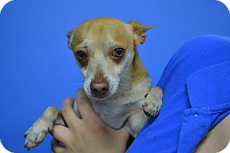 Chihuahua Mix Dog for adoption in Miami, Florida - Pengo