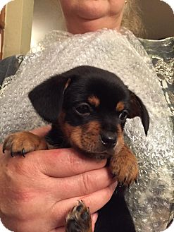 Dachshund Mix Puppy for adoption in Saddle Brook, New Jersey - Smith