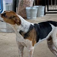 Hound (Unknown Type) Puppy for adoption in Leslie, Arkansas - Weagles