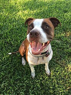 Staffordshire Bull Terrier Mix Dog for adoption in Wylie, Texas - Sadie