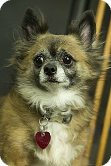 Chihuahua Mix Dog for adoption in Anchorage, Alaska - Snickers