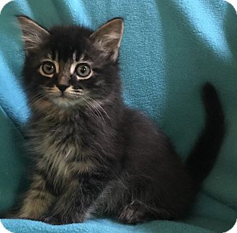 Maine Coon Kitten for adoption in Nashville, Tennessee - Captain Picard